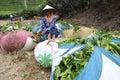 Ngargoyoso tea plantation tea pickers Royalty Free Stock Photo