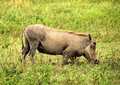 Ngorongoro warthog a grazes on its knees in the crater Stock Photo