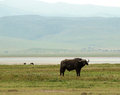 Ngorongoro waterbuffalo a looks up as it stands in front of the rim inside the crater Stock Image