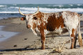 Nguni Bull Royalty Free Stock Photo