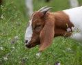Nibbling alfalfa a boer goat at Royalty Free Stock Image