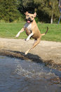 Nice american staffordshire terrier jumping over water Royalty Free Stock Images