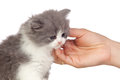 Nice angora cat receiving a caress Stock Photos