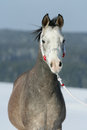 Nice arabian horse with beautiful show halter in winter Royalty Free Stock Images
