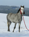 Nice arabian horse with beautiful show halter in winter Stock Photography