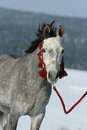 Nice arabian horse with beautiful show halter in winter Stock Photos