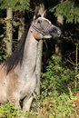 Nice arabian mare with show halter in front of the forrest Royalty Free Stock Images