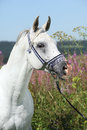 Nice arabian stallion with blue show halter in front of pink flowers Stock Images