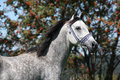 Nice arabian stallion with blue show halter in front of rowan Stock Images
