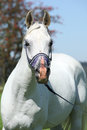 Nice arabian stallion with blue show halter in front of rowan Stock Image