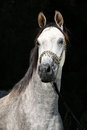Nice arabian stallion with show halterin front of black background Stock Photography
