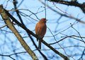 Beautiful red bird on branch, Lithuania Royalty Free Stock Photo