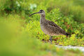 Nice bird Whimbrel, Numenius phaeopus, in blurred nice flowers in foreground, Belize. Bird in nature habitat, long bill. Wildlife