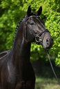 Nice black horse green background bridle braids mane Stock Photography