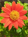 nice blossom  daisy morning flower Royalty Free Stock Photo