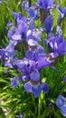 Nice Blue Flowers In My Garden...