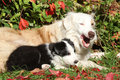 Nice border collie bitch with puppy in autumn Royalty Free Stock Image