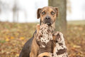Nice brown louisiana catahoula dog scared of parenting Royalty Free Stock Photo