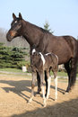 Nice brown mare with its piebald foal in outdoor Stock Photos