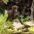 Nice brown puppy in the garden of deutscher kurzhaariger vorstehhund Royalty Free Stock Photos
