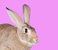 Nice brown rabbit on a pink background Stock Photos