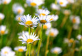Nice chamomile Royalty Free Stock Photography