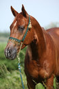 Nice chestnut arabian horse with green show halter in nature Stock Photography