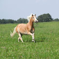 Nice chestnut horse with blond mane running in nature flying Royalty Free Stock Photos