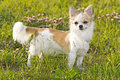 Nice chihuahua among green grass Stock Images