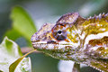 Nice colorful chameleon, cameleon lizard Royalty Free Stock Photo