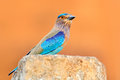Nice colour light blue bird Indian Roller sitting on the stone  with orange background. Birdwatching in Asia. Beautiful colour bir Royalty Free Stock Photo