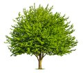 Nice deciduous tree on white beautiful fresh green isolated pure background Royalty Free Stock Photography