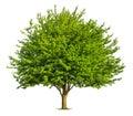 Nice deciduous tree on white Royalty Free Stock Photo