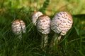 Nice detail portrait bunch of mushrooms Macrolepiota Royalty Free Stock Photo