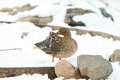 Nice duck in winter mallard standing on the snow Stock Photos
