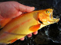 Nice golden trout close up hoto of vibrant caught from a maryland stream this is a man made colorful fish which is Royalty Free Stock Photography