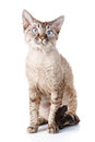 Nice gray devon rex cat Royalty Free Stock Photo