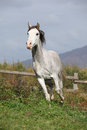 Nice grey arabian stallion with flying mane Royalty Free Stock Photo