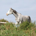 Nice grey arabian stallion running Royalty Free Stock Photo