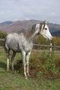 Nice grey arabian stallion Royalty Free Stock Photo