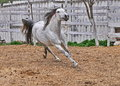 Nice grey stallion with flying mane running through a paddock Royalty Free Stock Photos