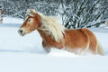 Nice haflinger with long mane running in the snow blond Royalty Free Stock Photography