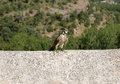 Nice hawk breeding resting on a wall Royalty Free Stock Photo