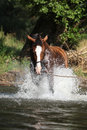 Nice horse with rope halter playing in the water brown Royalty Free Stock Photo