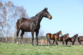 Nice horse standing on pasturage with other horses in background dark brown Stock Images