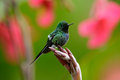 Nice hummingbird Green Thorntail (Discosura conversii) with blurred pink and red flowers, La Paz, Costa Rica Royalty Free Stock Photo