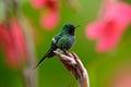 Nice Hummingbird Green Thornta...