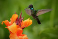 Nice hummingbird, Magnificent Hummingbird, Eugenes fulgens, flying next to beautiful orange flower with ping flowers in the backgr