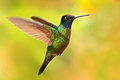 Nice hummingbird, Magnificent Hummingbird, Eugenes fulgens, flying next to beautiful yellow flower with flowers in the background,