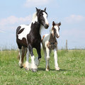 Nice irish cob mare with foal on pasturage skewbald running Royalty Free Stock Image